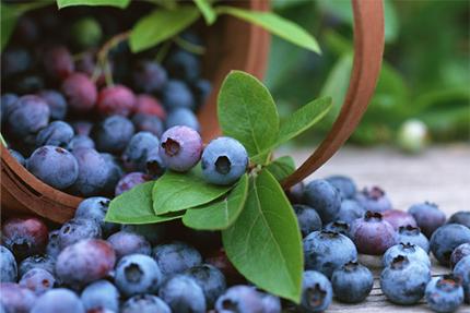 Blueberry ph001